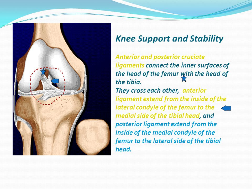 Knee Support and Stability Anterior and posterior cruciate ligaments connect the inner surfaces of the head of the femur with the head of the tibia.
