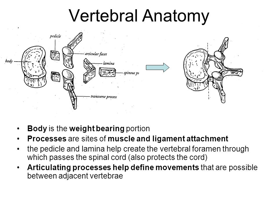 Vertebral Anatomy Body is the weight bearing portion