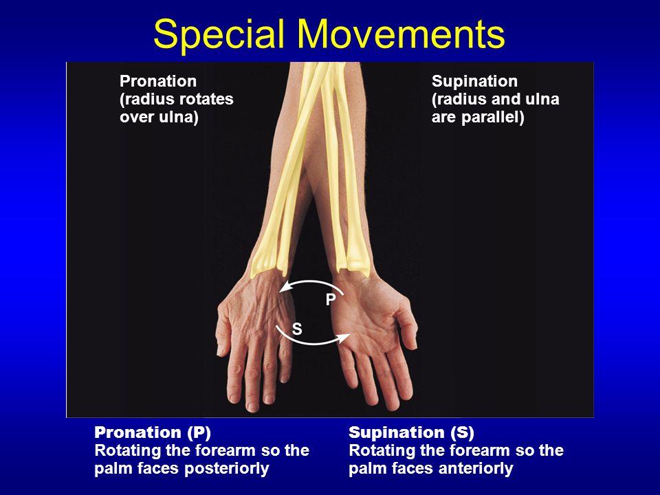 Special Movements Pronation (radius rotates over ulna) Supination