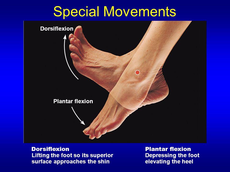 Special Movements Dorsiflexion Plantar flexion Dorsiflexion