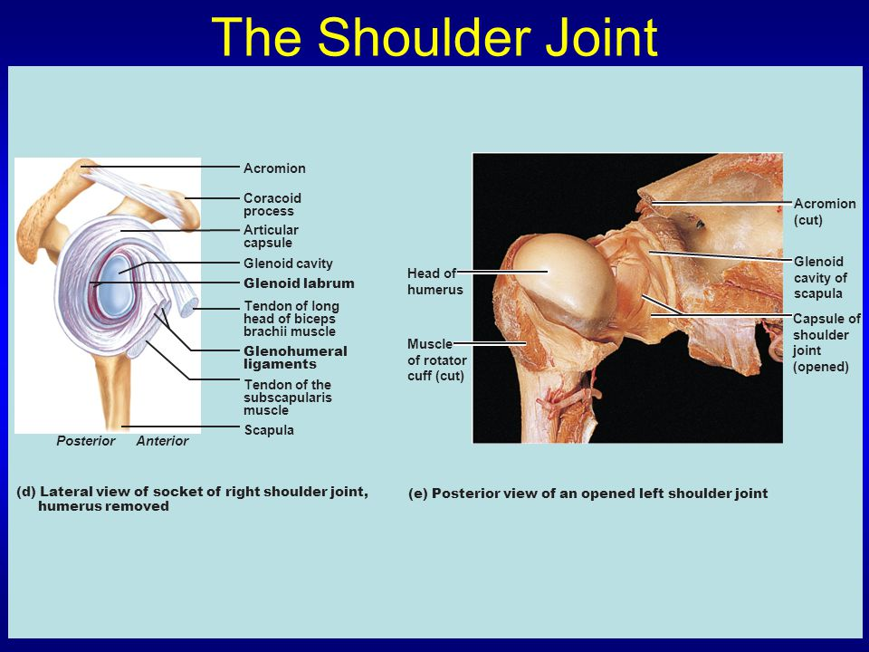 The Shoulder Joint Acromion Coracoid process Acromion (cut) Articular