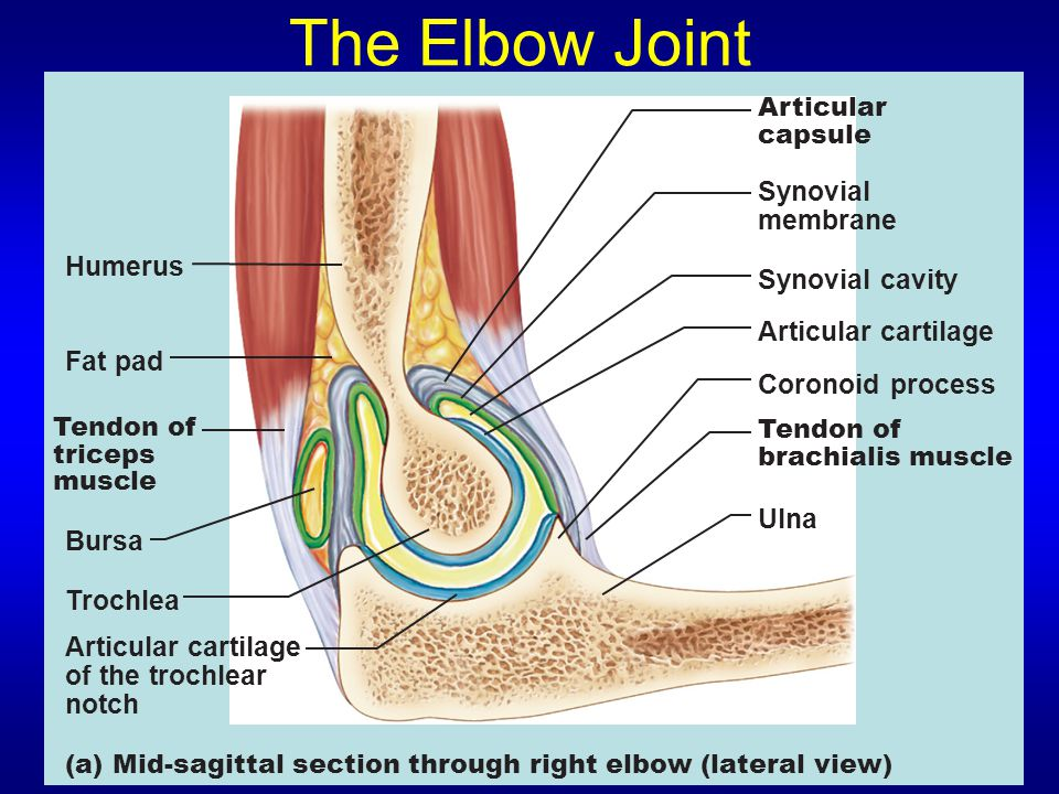 The Elbow Joint Synovial membrane Humerus Synovial cavity