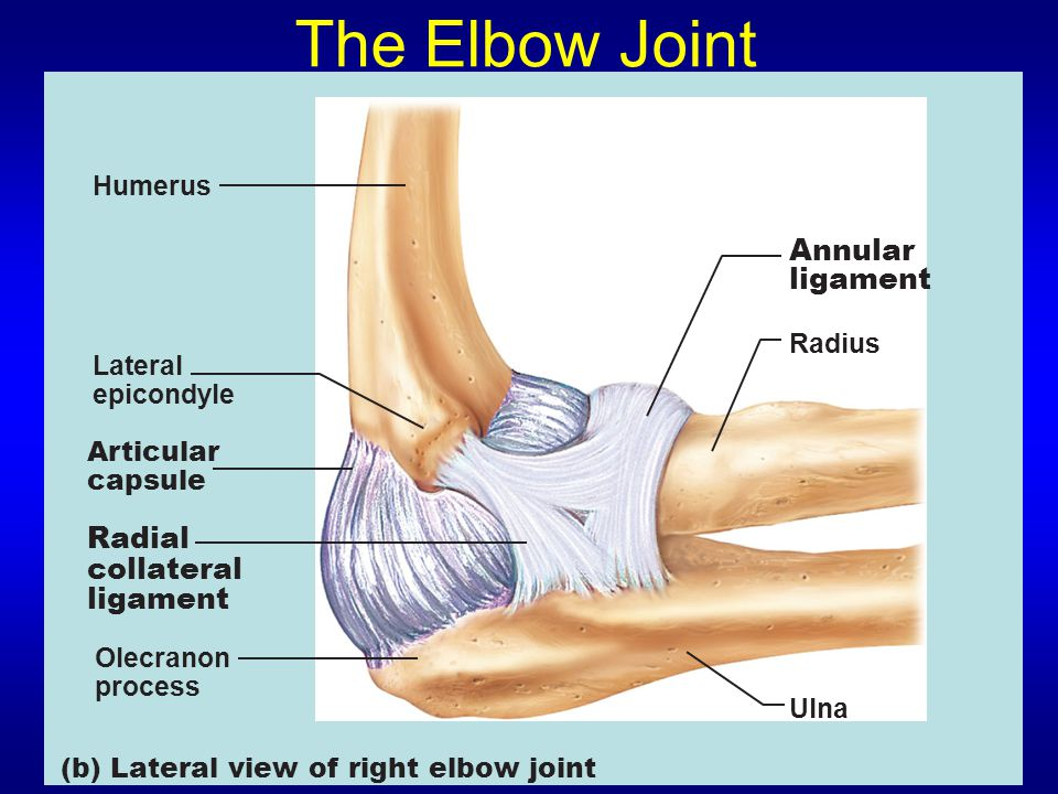 The Elbow Joint Annular ligament Radial collateral ligament Humerus