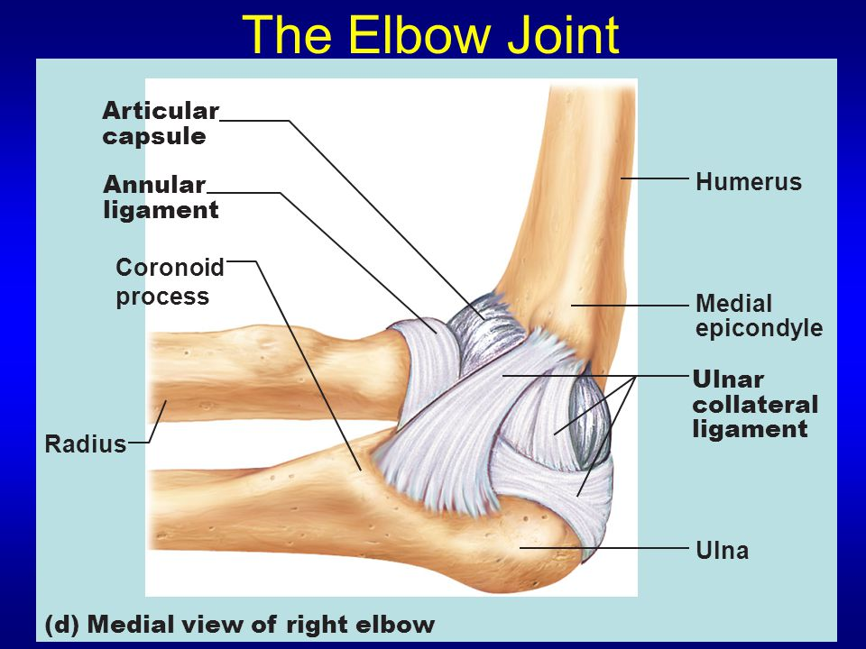 The Elbow Joint Articular capsule Humerus Annular ligament Coronoid