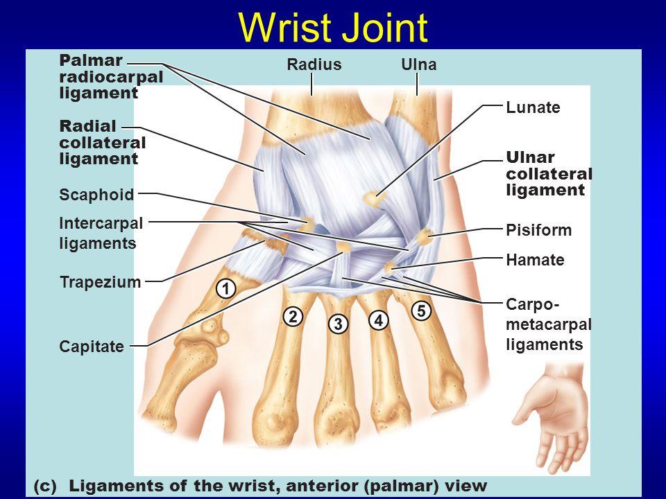 Wrist Joint Palmar radiocarpal ligament Radius Ulna Lunate Radial