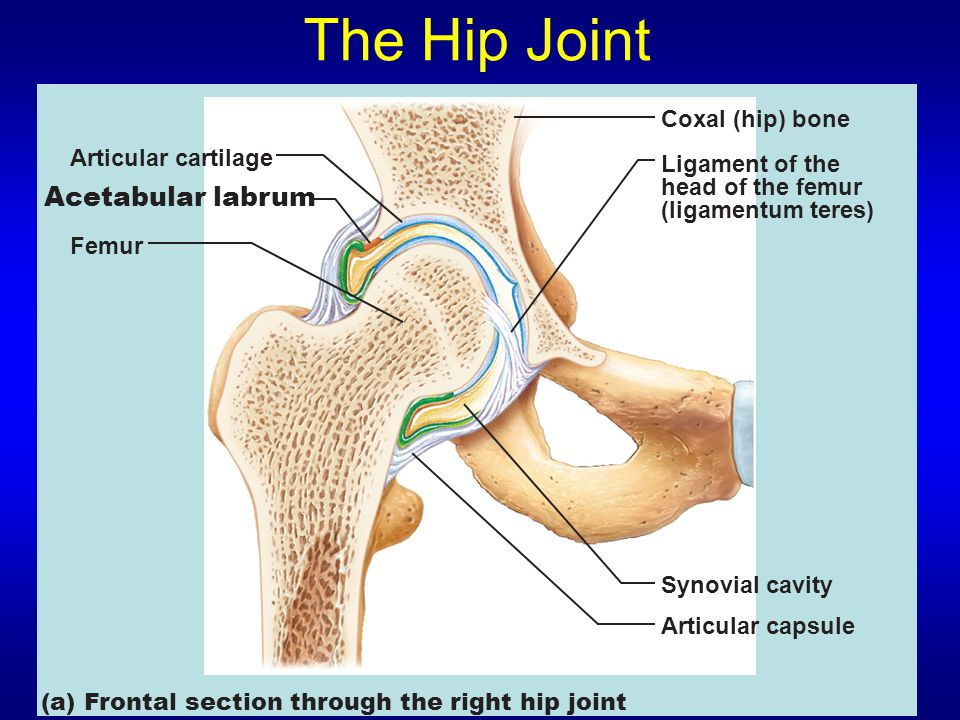 The Hip Joint Acetabular labrum Coxal (hip) bone Articular cartilage