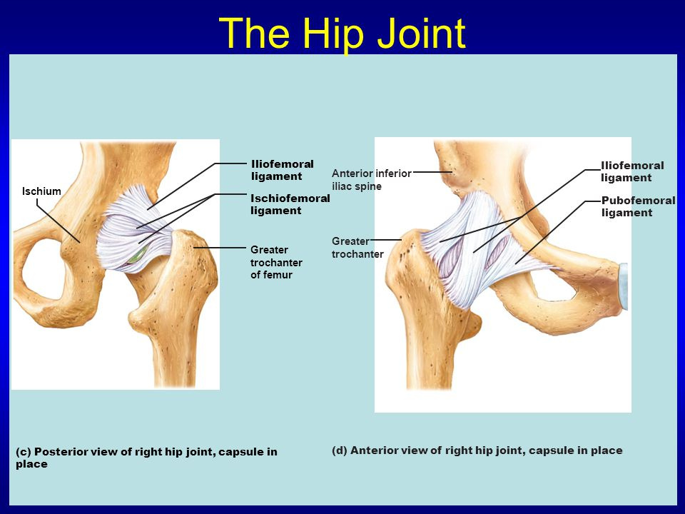 The Hip Joint Iliofemoral Iliofemoral ligament Anterior inferior