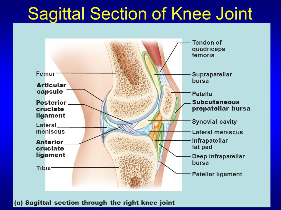 Sagittal Section of Knee Joint