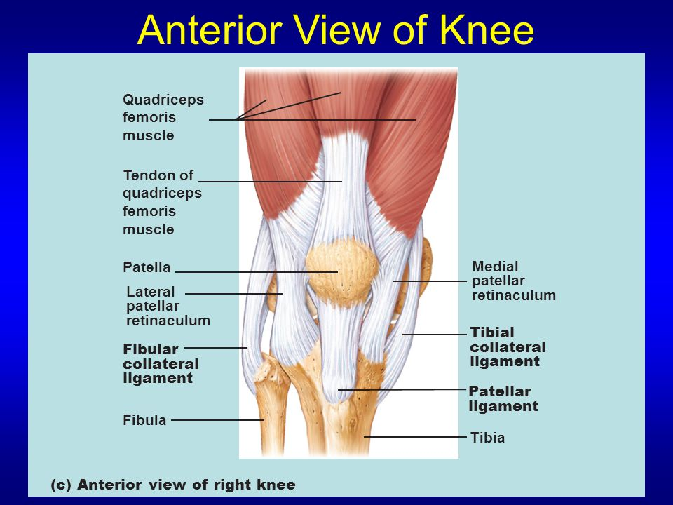Anterior View of Knee Quadriceps femoris muscle Tendon of quadriceps