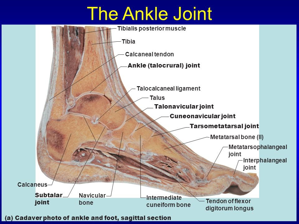 The Ankle Joint Tibialis posterior muscle Tibia Calcaneal tendon
