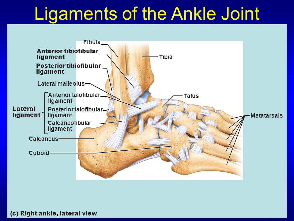 Ligaments of the Ankle Joint