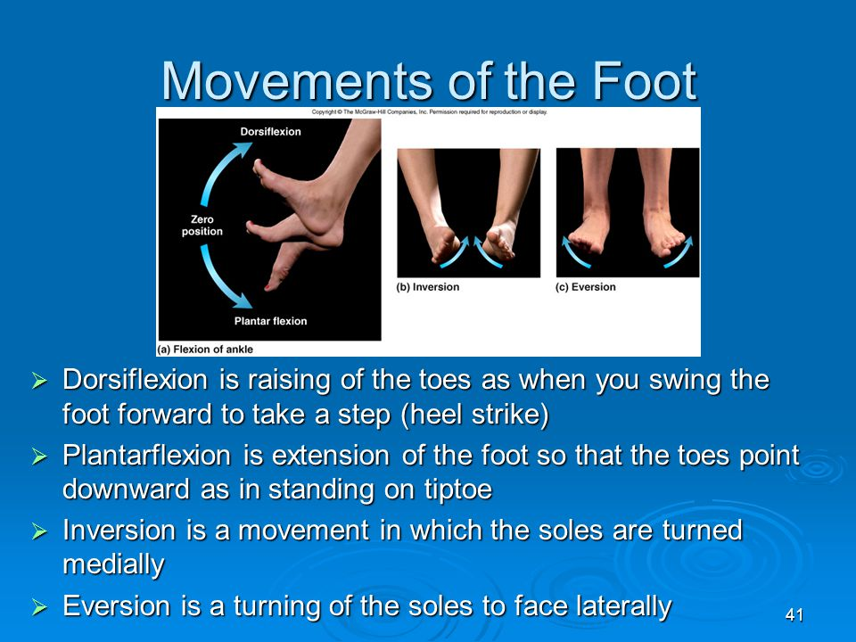 Movements of the Foot Dorsiflexion is raising of the toes as when you swing the foot forward to take a step (heel strike)