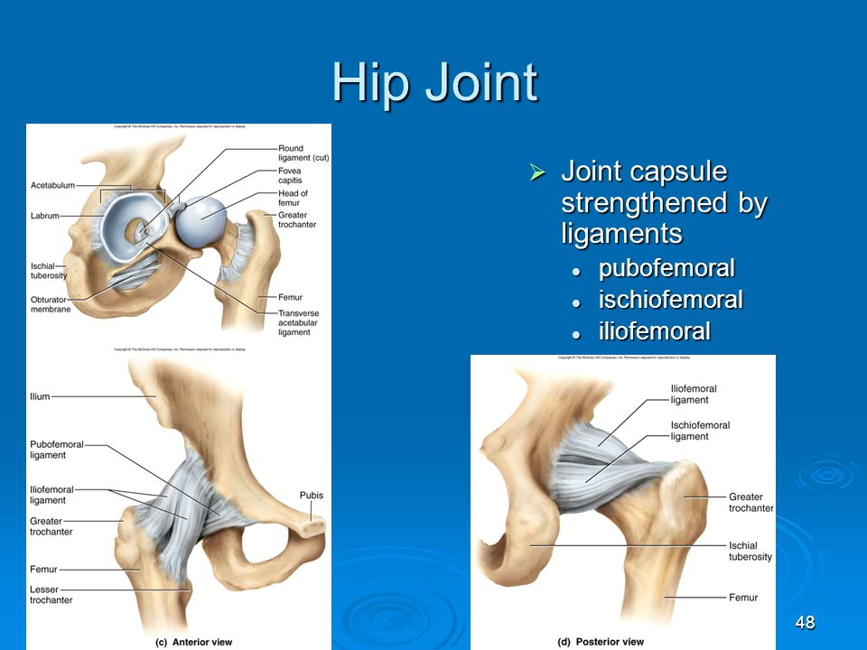 Hip Joint Joint capsule strengthened by ligaments pubofemoral