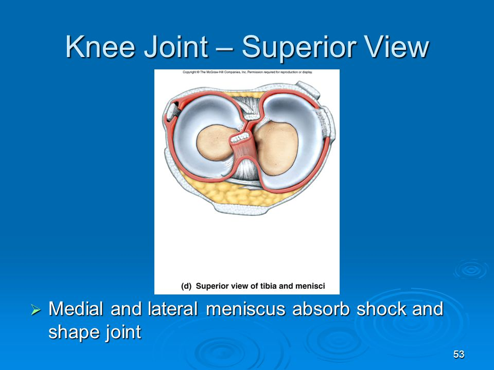 Knee Joint – Superior View