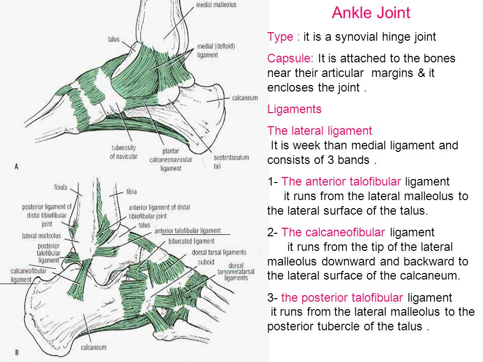 Ankle Joint Type : it is a synovial hinge joint