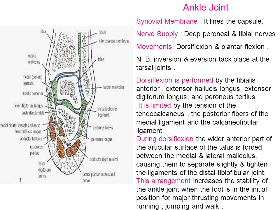 Ankle Joint Synovial Membrane : It lines the capsule.