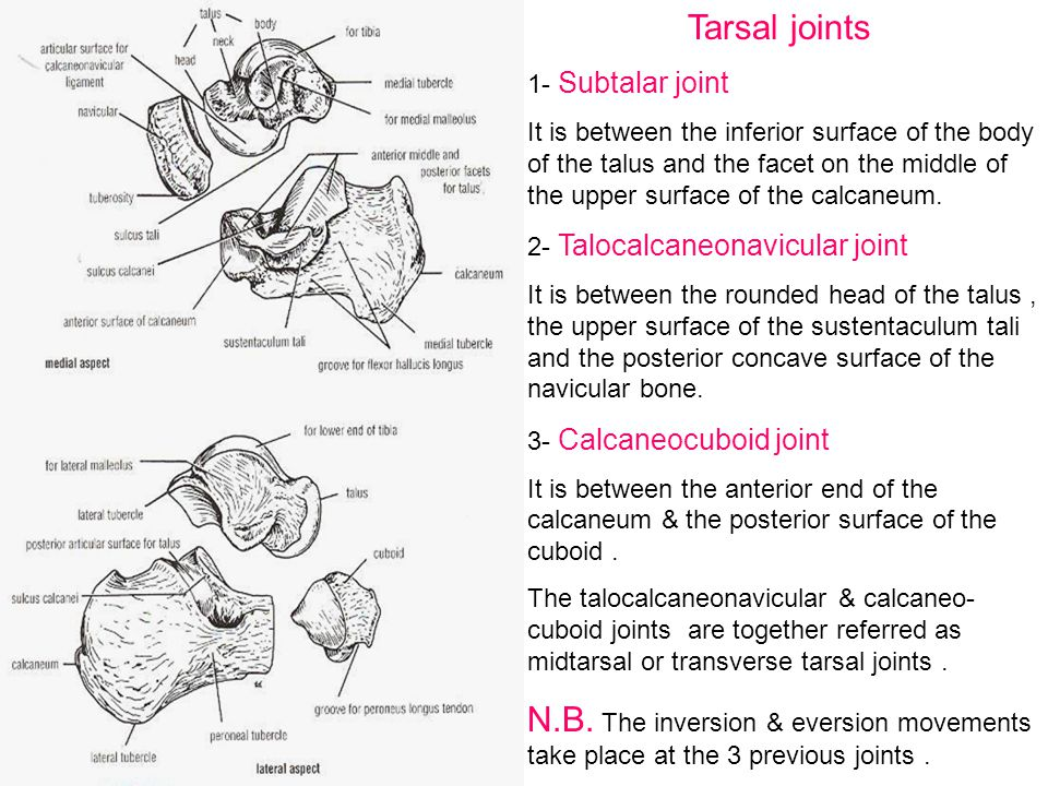 Tarsal joints 1- Subtalar joint.