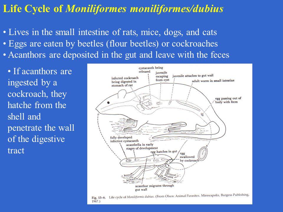 Life Cycle of Moniliformes moniliformes/dubius