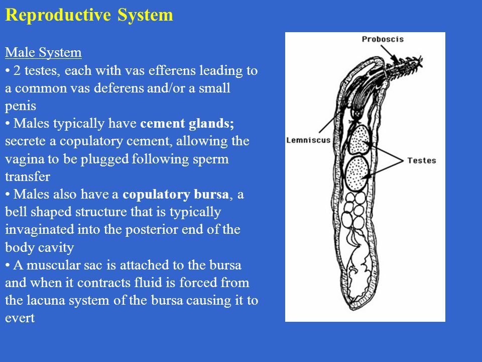 Reproductive System Male System