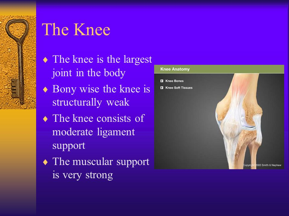 The Knee The knee is the largest joint in the body