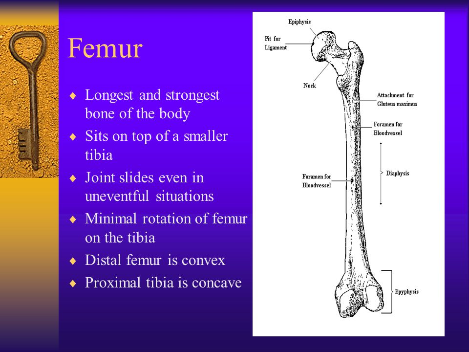 Femur Longest and strongest bone of the body