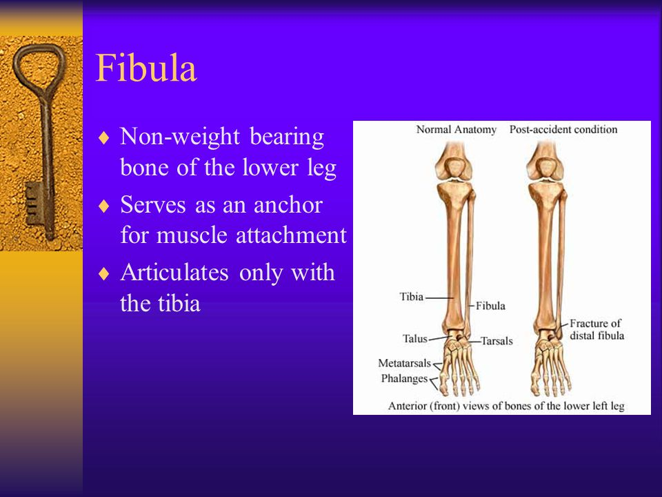 Fibula Non-weight bearing bone of the lower leg
