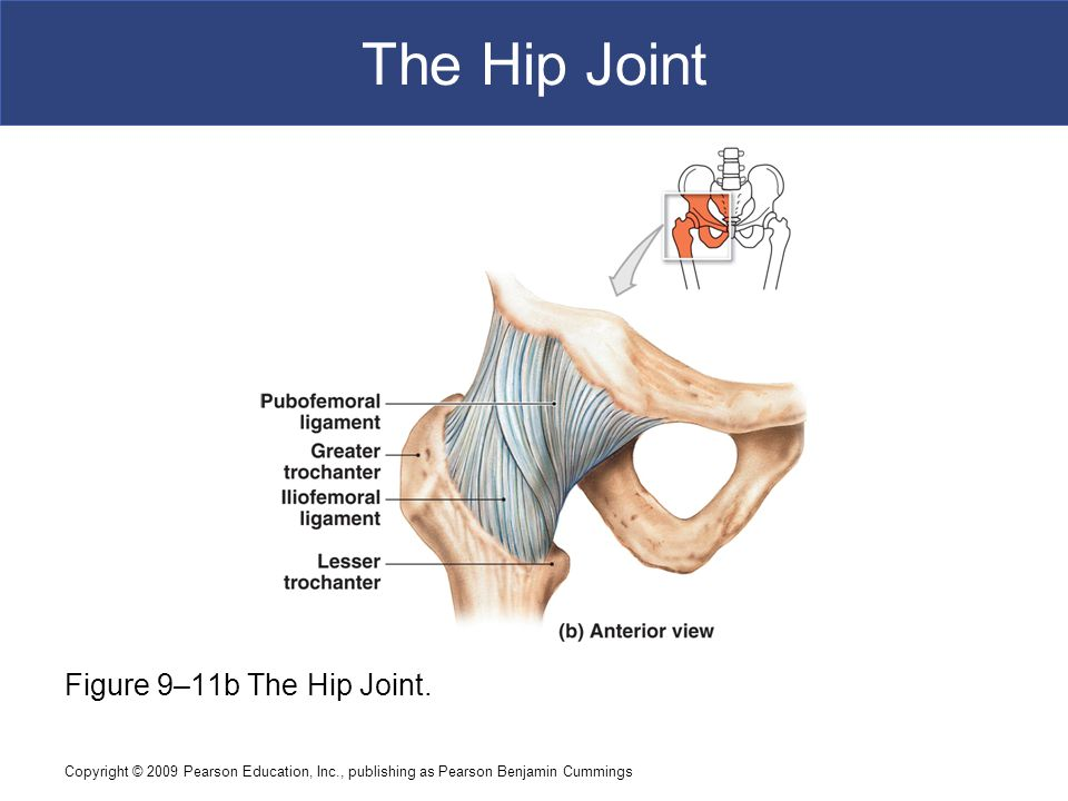 The Hip Joint Figure 9–11b The Hip Joint.