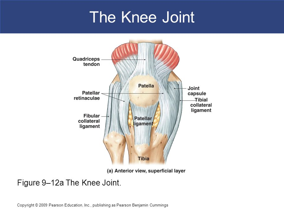 The Knee Joint Figure 9–12a The Knee Joint.
