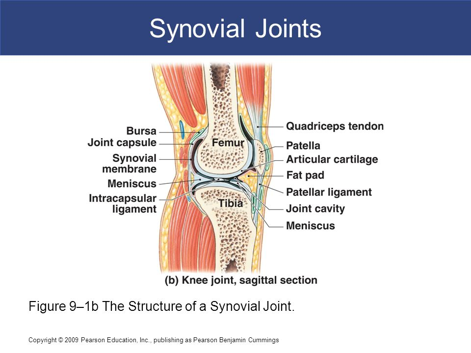 Synovial Joints Figure 9–1b The Structure of a Synovial Joint.