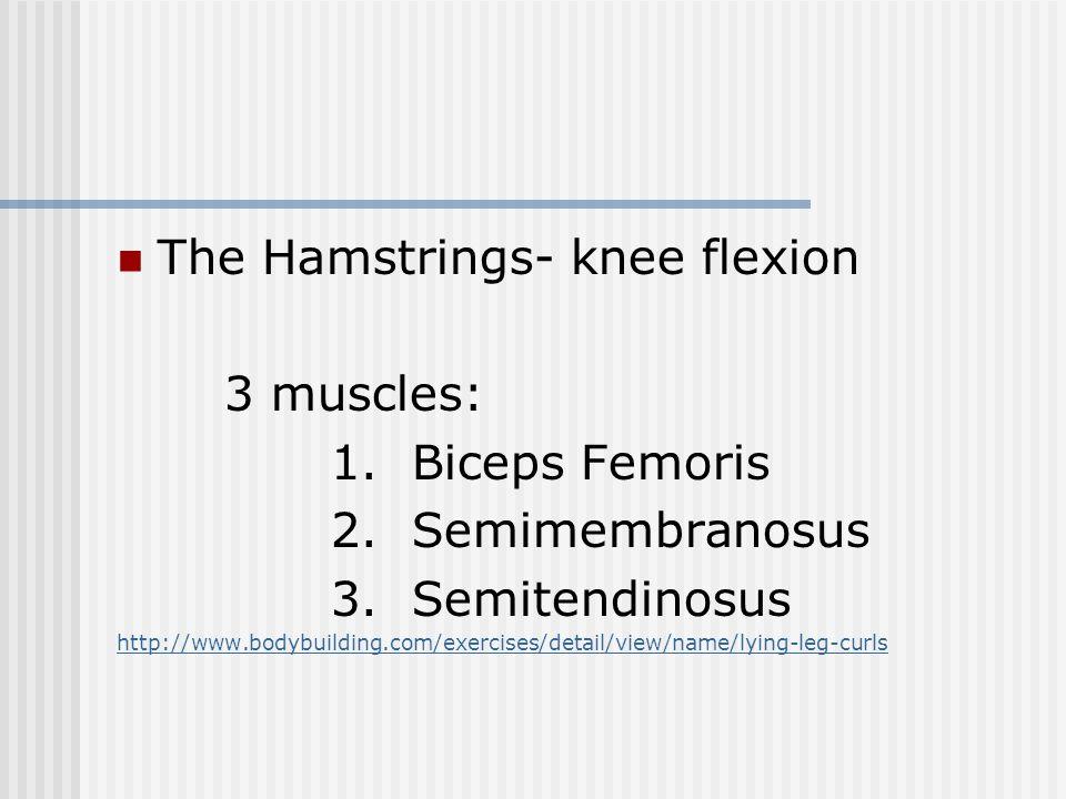 The Hamstrings- knee flexion 3 muscles: 1. Biceps Femoris