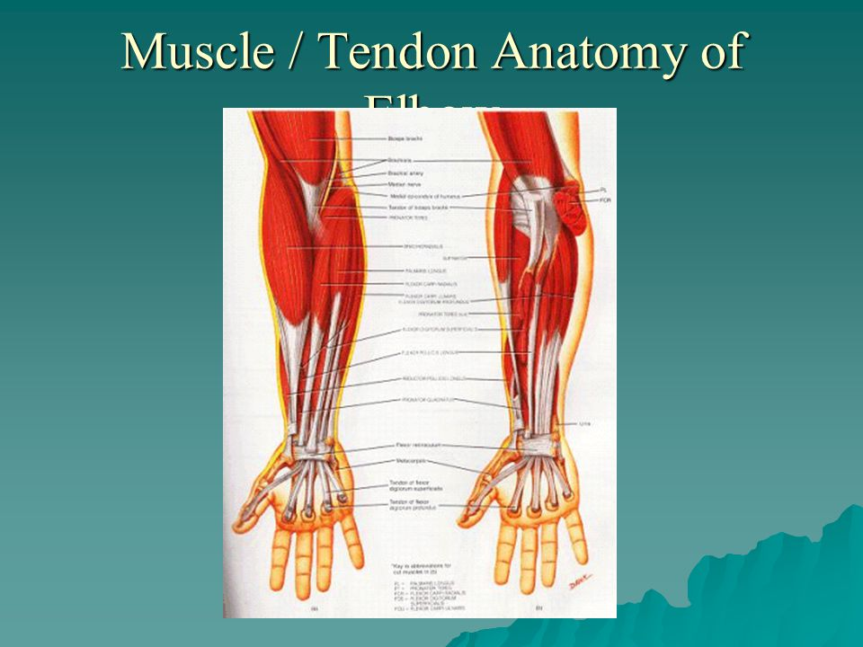 Muscle / Tendon Anatomy of Elbow