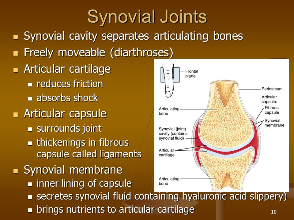 Synovial Joints Synovial cavity separates articulating bones