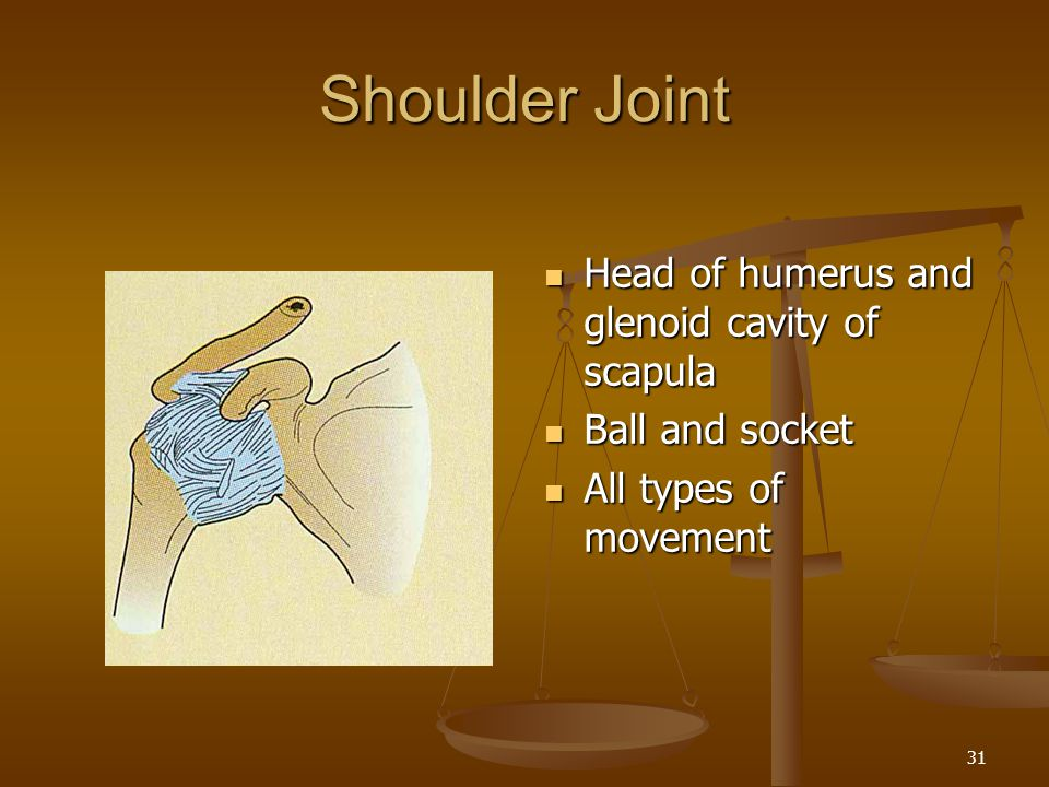 Shoulder Joint Head of humerus and glenoid cavity of scapula