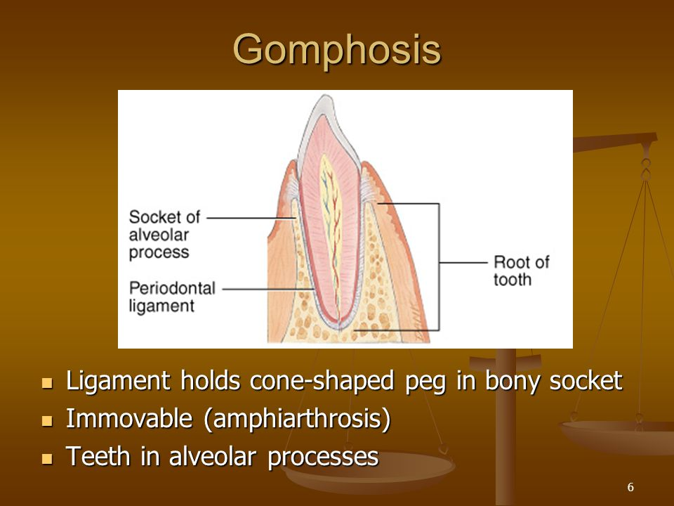 Gomphosis Ligament holds cone-shaped peg in bony socket