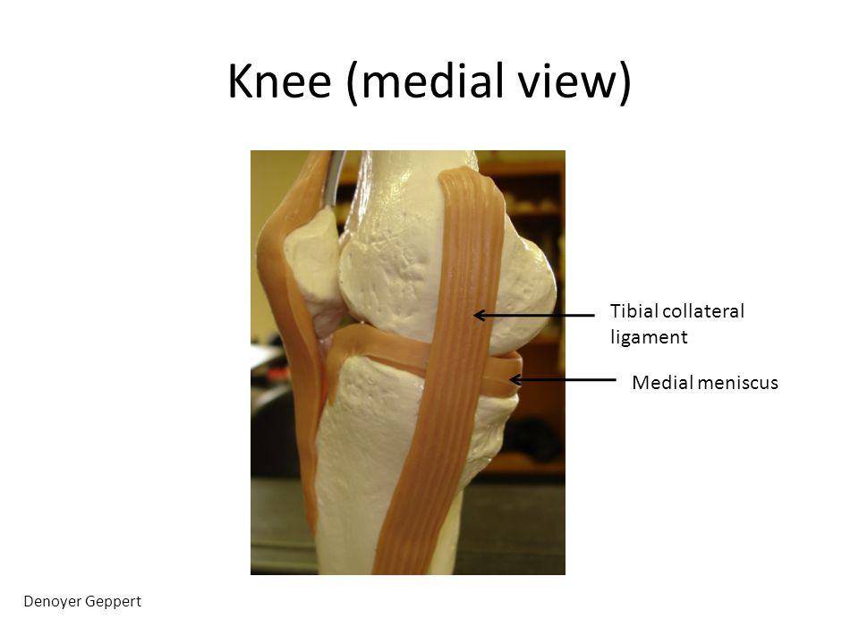Knee (medial view) Tibial collateral ligament Medial meniscus