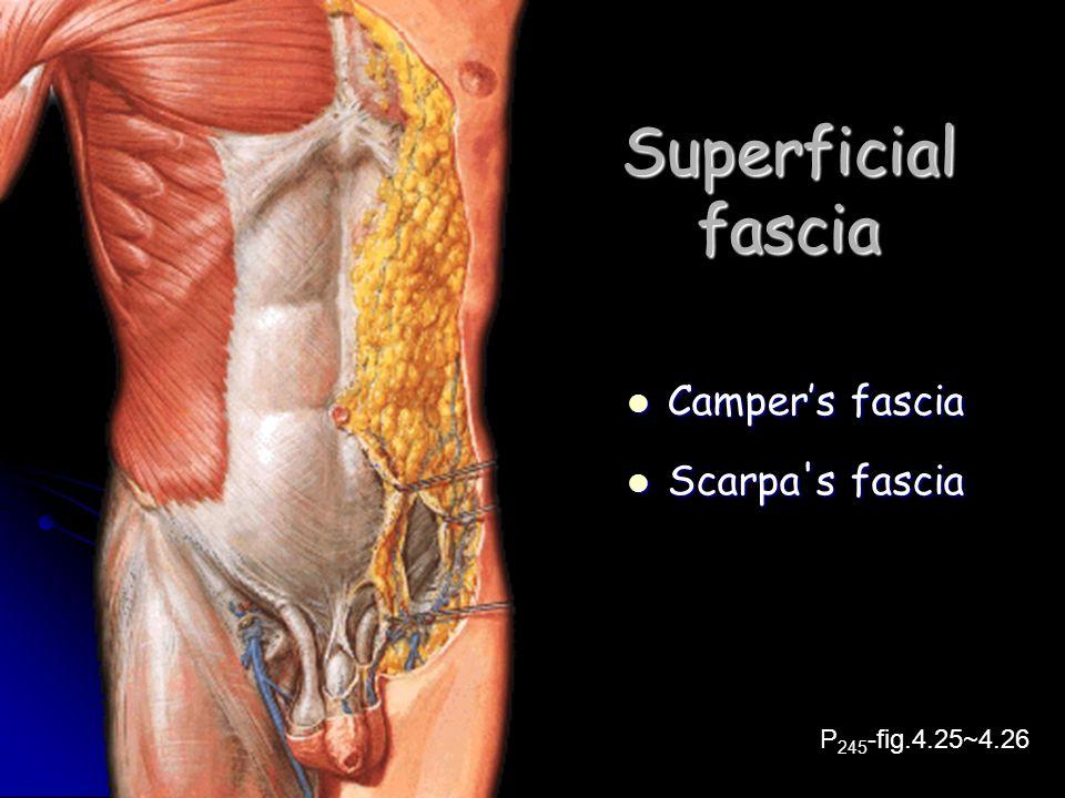Superficial fascia Camper's fascia Scarpa s fascia P245-fig.4.25~4.26
