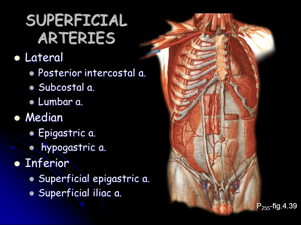 SUPERFICIAL ARTERIES Lateral Median Inferior Posterior intercostal a.