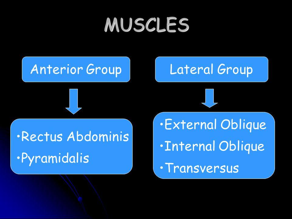 MUSCLES Anterior Group Lateral Group External Oblique Internal Oblique