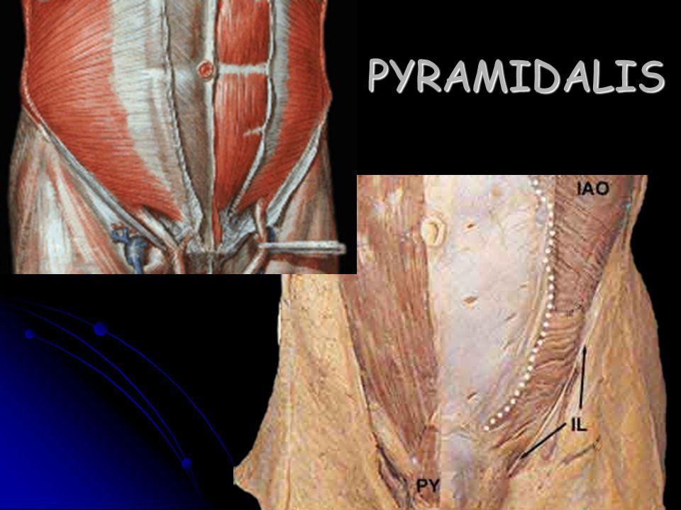 PYRAMIDALIS