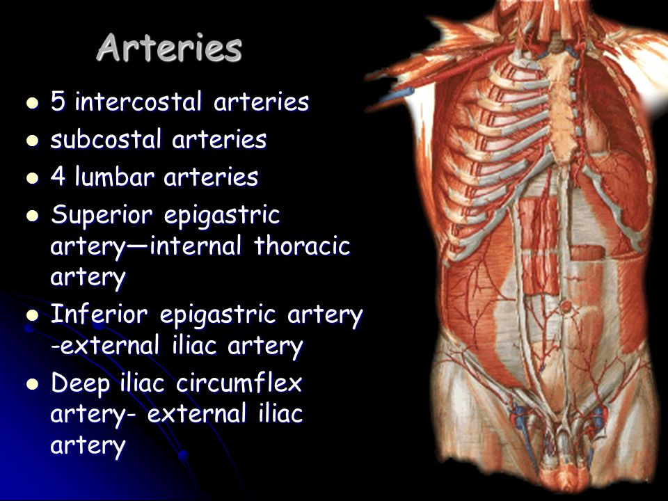 Arteries 5 intercostal arteries subcostal arteries 4 lumbar arteries