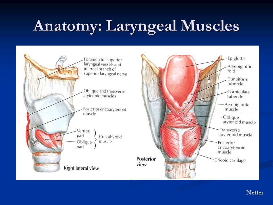 Anatomy: Laryngeal Muscles