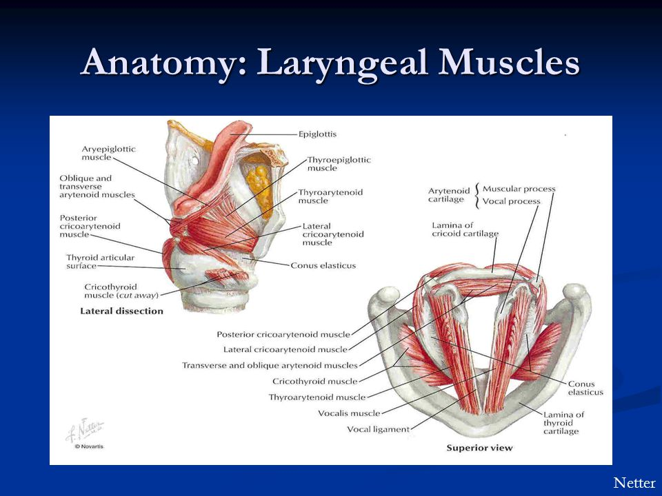 Images of Larynx Anatomy Netter - #SpaceHero