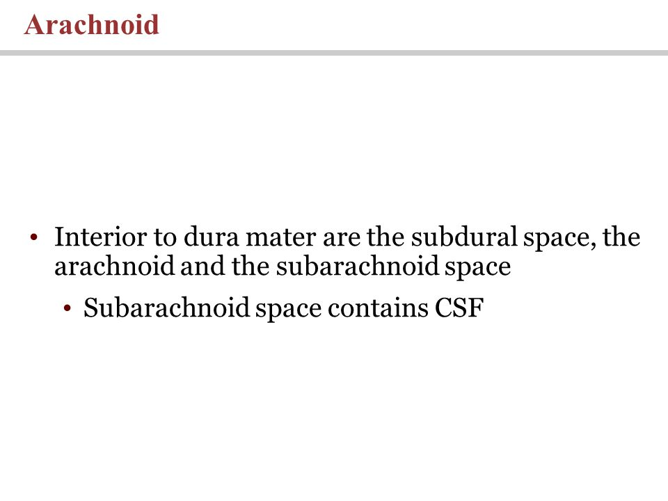 Arachnoid Interior to dura mater are the subdural space, the arachnoid and the subarachnoid space.