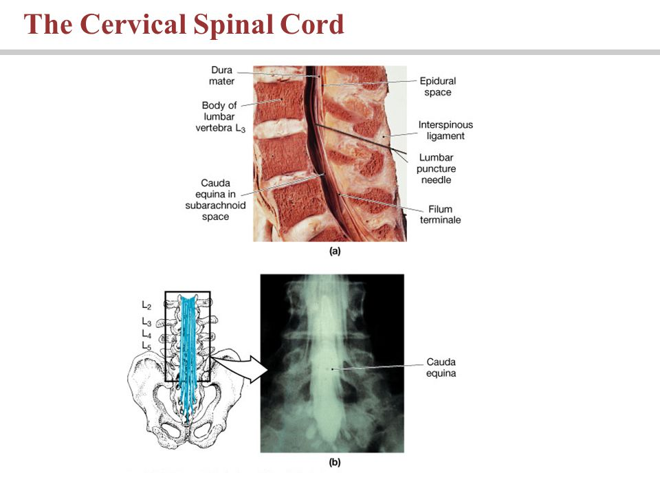 The Cervical Spinal Cord