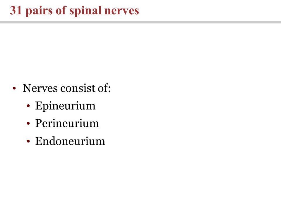 31 pairs of spinal nerves Nerves consist of: Epineurium Perineurium