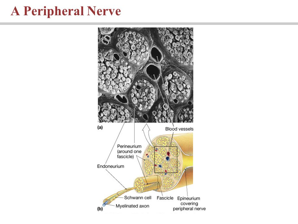 A Peripheral Nerve