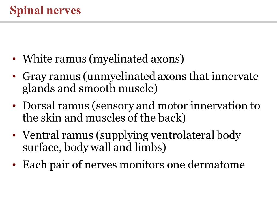 Spinal nerves White ramus (myelinated axons)