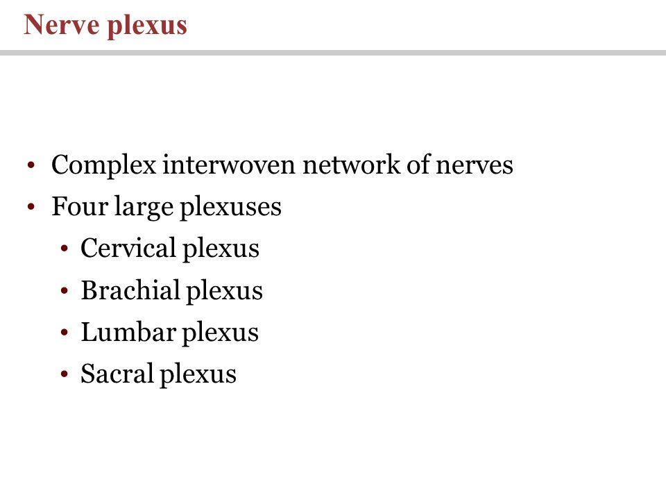 Nerve plexus Complex interwoven network of nerves Four large plexuses