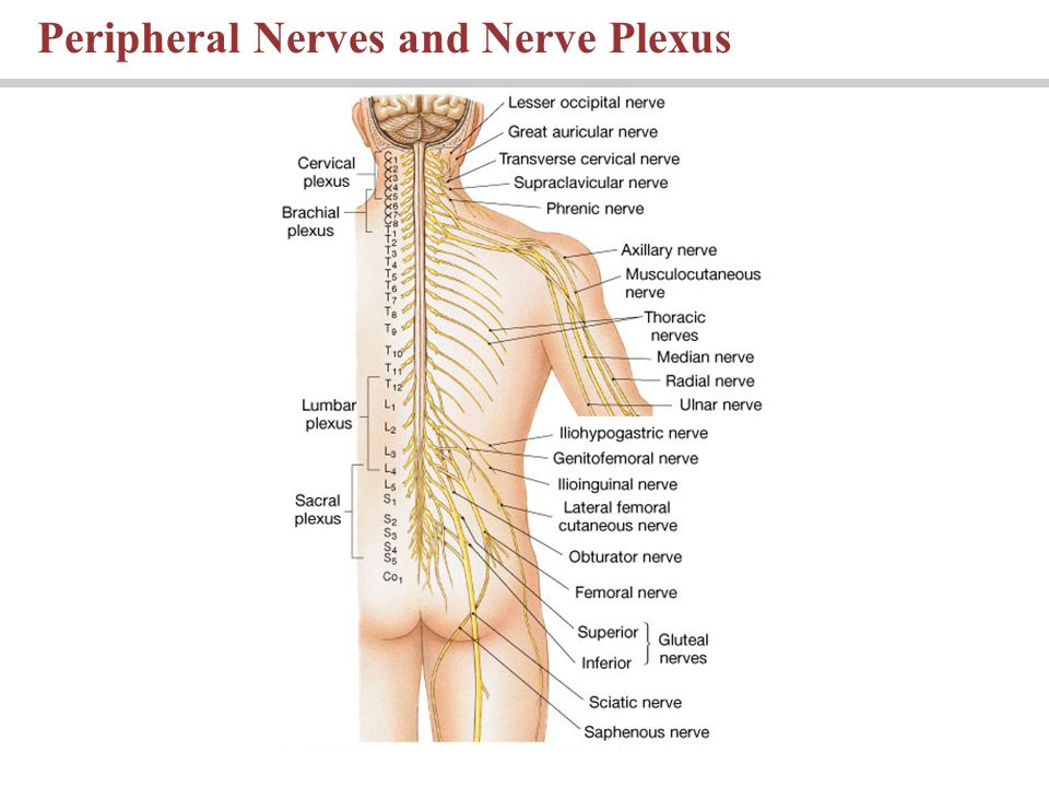 Peripheral Nerves and Nerve Plexus
