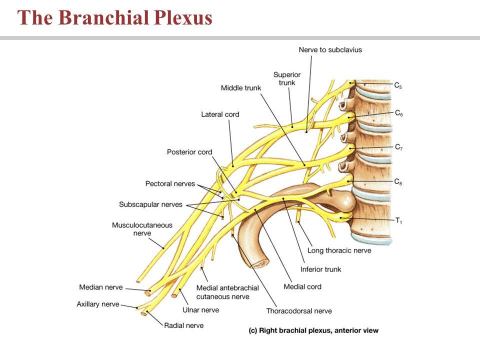 The Branchial Plexus